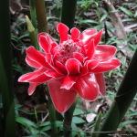 Ingwerblüte - Malaysia